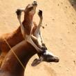 kangaroo02